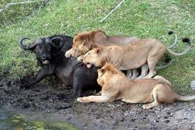 4 Days Fascinating Big Five Safari In Kenya Tour