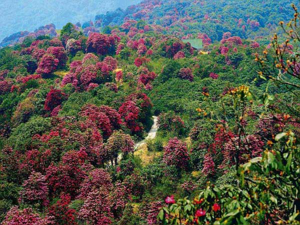 Pelling- Yuksom- Okhrey Varsey Rhododendron Sentury Tour