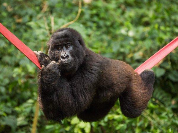8 Days Uganda/rwanda Gorilla And Wildlife Safari