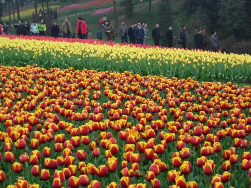 Kashmir Tulip Tour