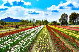 Kashmir Tulip Festival Tour
