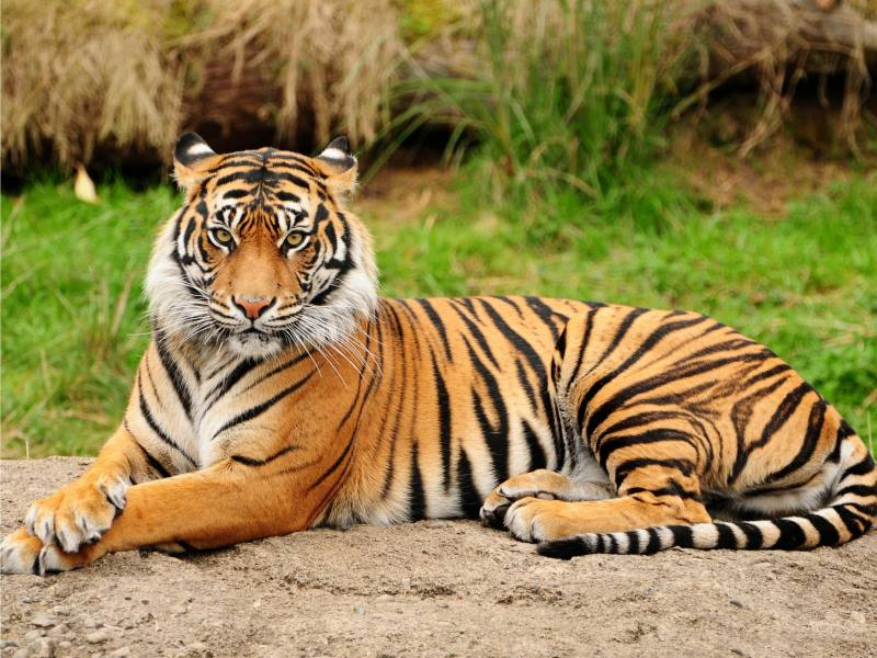 Tiger Wildlife Tour