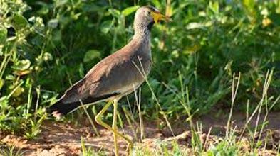 Uganda Birding Safari Tour