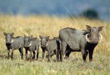 Masai Mara Game Reserve & Lake Nakuru National Park Tour