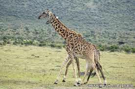 7 Days Lake Manyara / Ngororngoro Crater/ Serengeti Lodges Safari Tanzania