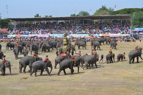 Elephant Roundup At Surin 2013