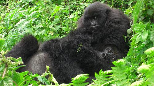 Gorilla Trekking Uganda Tour