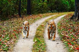 Madhya Pradesh Tiger Safari Tour 5 Days