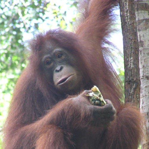 Orangutan Tour 3 Days Package