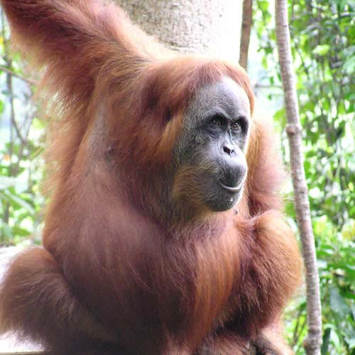 Sumatra Orangutan Tour 5 Days Package