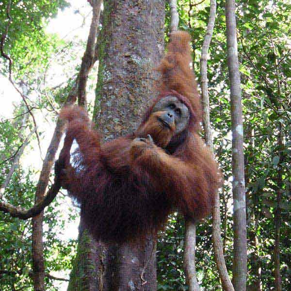 Orangutan Sumatra, Tangkahan, Lake Toba Package