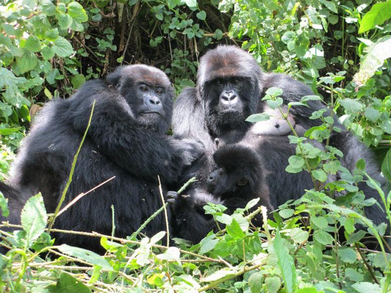 Gorillas Tour In Rwanda