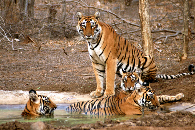 Golden Triangle With Tiger Safari Tour