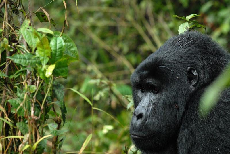 Just Gorillas Rwanda Tour