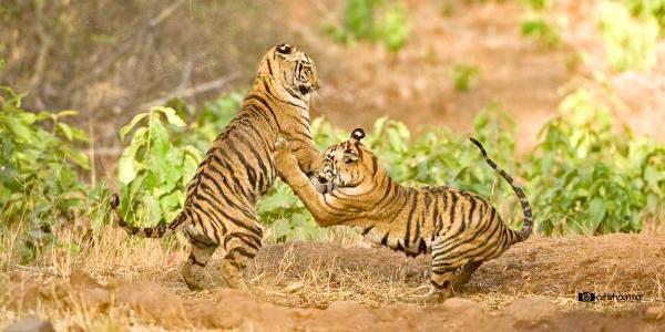 Group Package - Tadoba Andhari Tiger Reserve (TATR) - 1N/2D Package For Sharing Basis