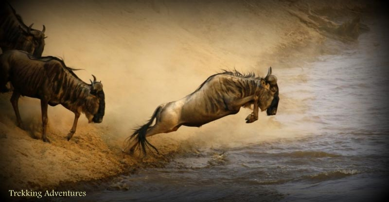 4 Days 3 Nights Mara Wildebeest Migration Safari Package