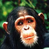 Ngamba Chimpanzee Sanctuary Tour