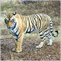 Tiger Tour Of North India