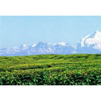 Mountain and Tea Garden Tour