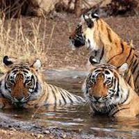Golden Triangle Tour with Tiger
