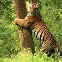 Kipling's Playground Tiger Tour