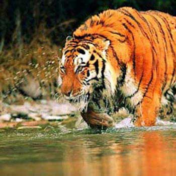 Wildlife Safari a Sunderban Tiger Camp in Sunderbans Tour