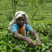 Assam Tea Tasting Tour