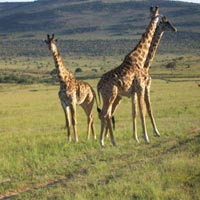 6 Days Masai Mara, lake Nakuru and Amboseli Camping safari Tour