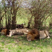 4 Days Masai Mara and Lake Nakuru Budget Joining Camping safari Tour