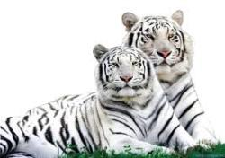 White Tiger Safari Mukundpur Rewa