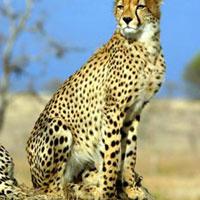 6 Days Masai Mara - Naivasha - Amboseli Tour