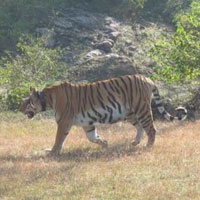Pench Tiger Reserve (Karmazari) Tour