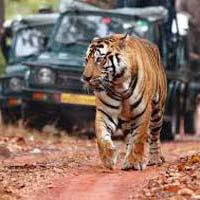 Tiger Safari Tour With Golden Triangle