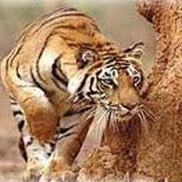 Tiger Sitting Tour