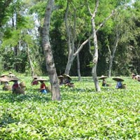 Tea Tour in Assam with Cherrapunjee