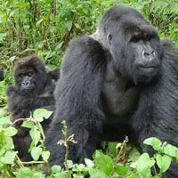 3 Days Gorilla Trekking in Uganda Tour