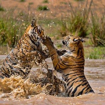 Tigers in Bandhavgarh Tour