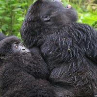 4 Days Gorilla Express Package