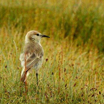 Birding in Ladakh Wildlife Tours