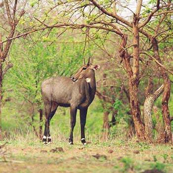 Gir Jungle Safari Tour