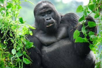 5 Day Rwanda/ Uganda Double Gorilla Package