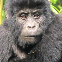 3-Day Gorilla Tracking Express Package