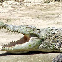 Jong's Crocodile Farm Tour