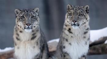 Snow Leopard Trip Itinerary Tour
