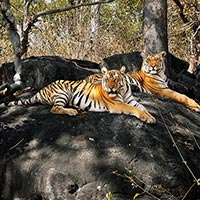 Pench - Mowgli Land Tour