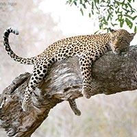 6-Days Masai Mara - L. Nakuru - Amboseli Wild Safari Offer Tour
