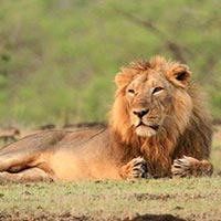 Top Package To Visit The Home Of Asiatic Lion At Sasangir Gujarat With Friends