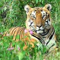 White Tiger Safari Mukundpur Rewa Tour