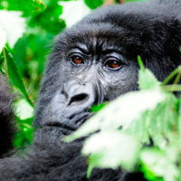 Gorilla Safari to Bwindi Impenetrable Forest National Park Tour