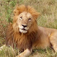 4 Days Masai Mara Lake Nakuru National Park Safari Tour